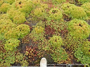 Sedum planted on the green roof of the Jacob Javits Convention Center in NYC.