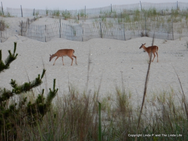 Fire Island Lighthouse 7/12/18 DEER ON SAND